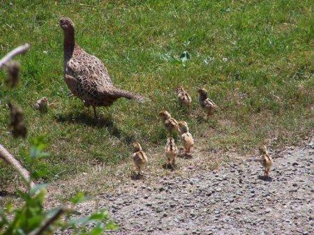 В леса Гагаузии запустили фазанов.